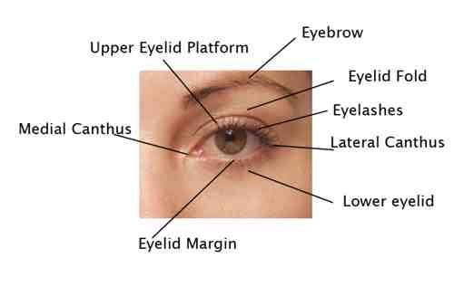 parts of the eyelid diagram paragon 8145 20 wiring facial anatomy plastic surgery beverly hills lidlift blepharoplasty cosmetic los angeles ca