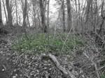 Der Waldboden ist übersät mit Bärlauch