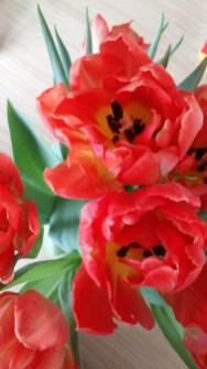 Malanser Tulpen