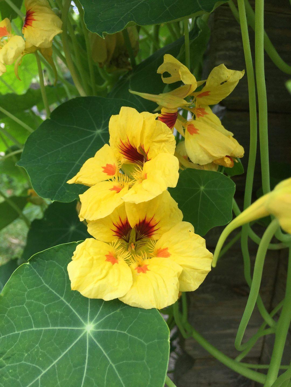 Essbare Blüten der Kapuzinerkresse