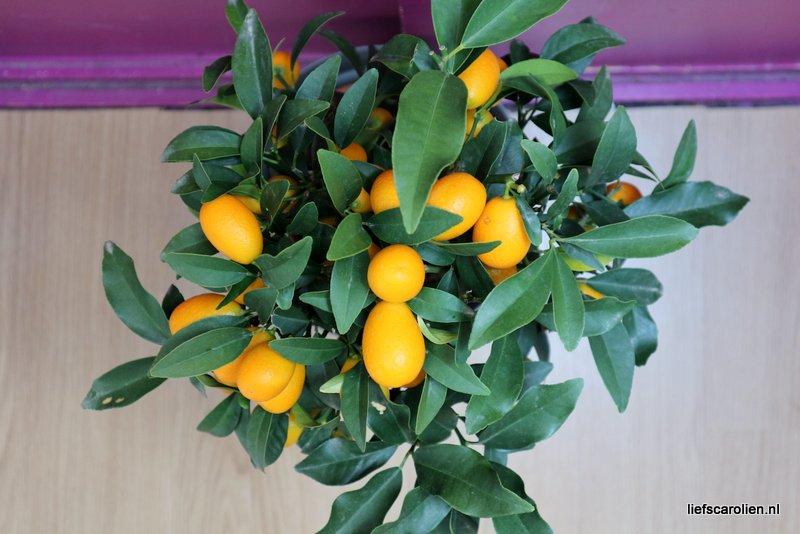 kumquat plant