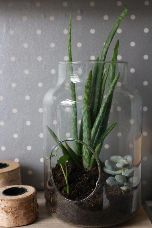 plantje, teranium