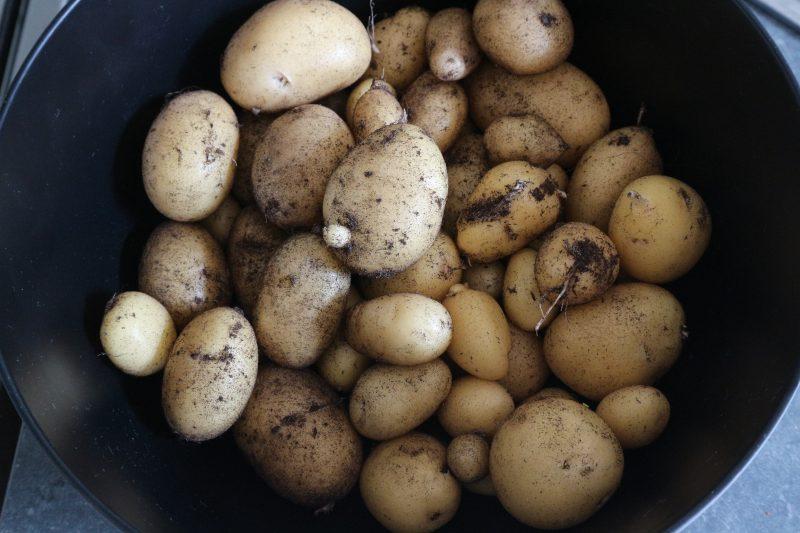 aardappelen uit de moestuin