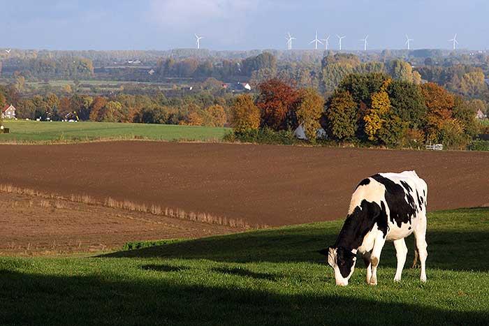 Een koe in het Zevenheuvelen gebied bij Groesbeek