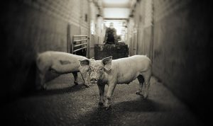 De Varkensindustrie in Brabant vervuilt en kost mensen