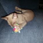 Pepijn,Burmees,kitten,speelgoed