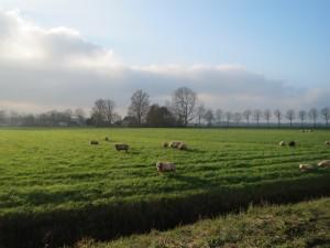 schapen,weiland,fietsen,Friesland,zon,november