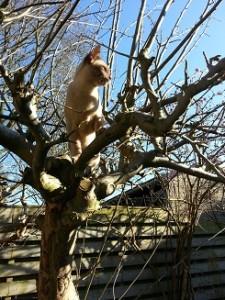 Pepijn,in de boom,Burmezen,poezen,2015