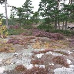 Noorwegen,bloeiende hei,nazomer,2015
