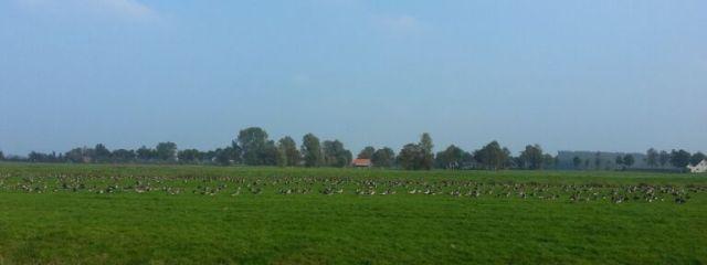 Friesland,herfst,ganzen,2015