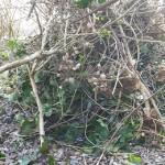 snoeien,tuin,hortensia's,klimop,kamperfoelie,april