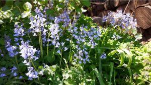 boshyacintjes,blauw,voorjaar,mei,2016,