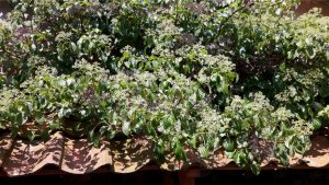 klimhortensia,hydrangea,voorjaar,knoppen,mei,2016,explosie