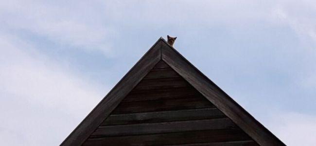 Pepijn,Burmees,dakhaas,op het dak,kraaien