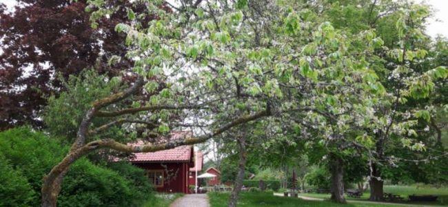 Zweden,Tjörn,Sundsby,konditori,moestuin,appelbomen,rabarber,mei,2016