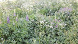 Zweden,bloemen,juni,2016,Tolvsbo,onderweg,lupinen,,fluitekruid