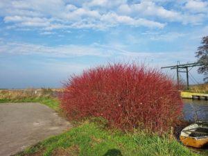 Terwispel, het rode bosje dat altijd stikvol zit met tsjilpende vogels
