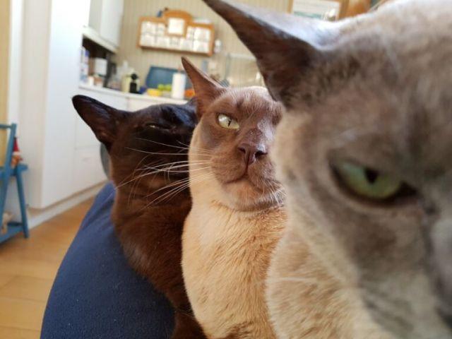 Mijn Burmezen Petter, Pepijn en Pientje - ze zitten er klaar voor!