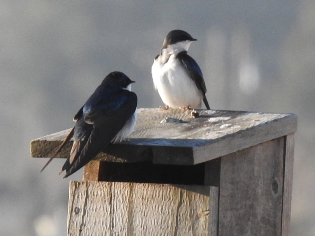 Tree Swallows at Willband Creek Park