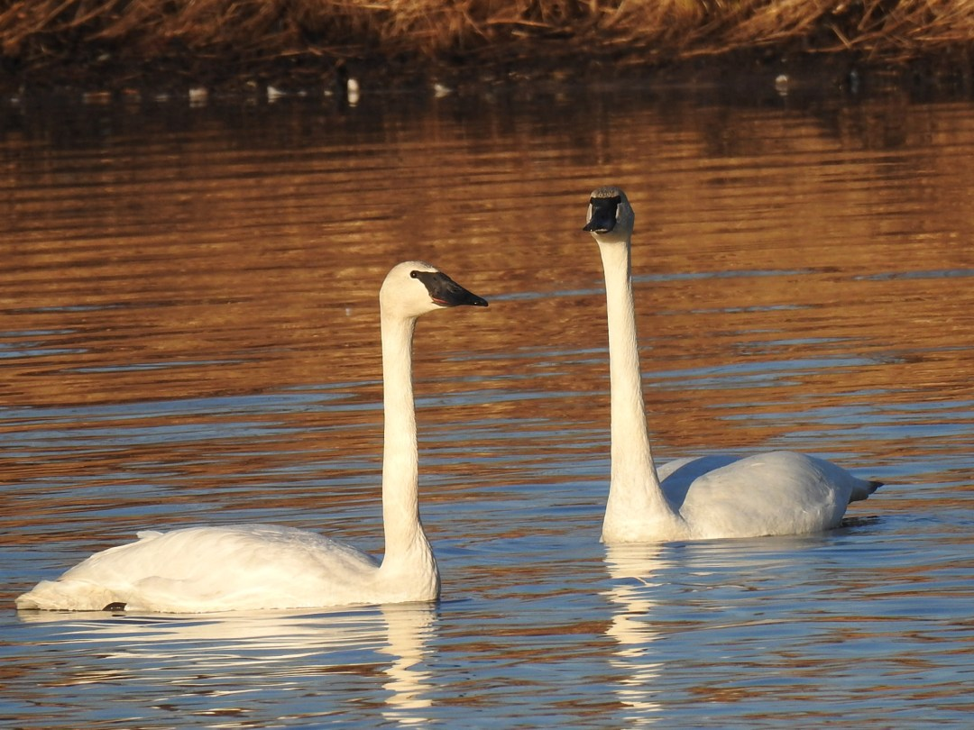 Trumpeter Swans at Willband Creek Park
