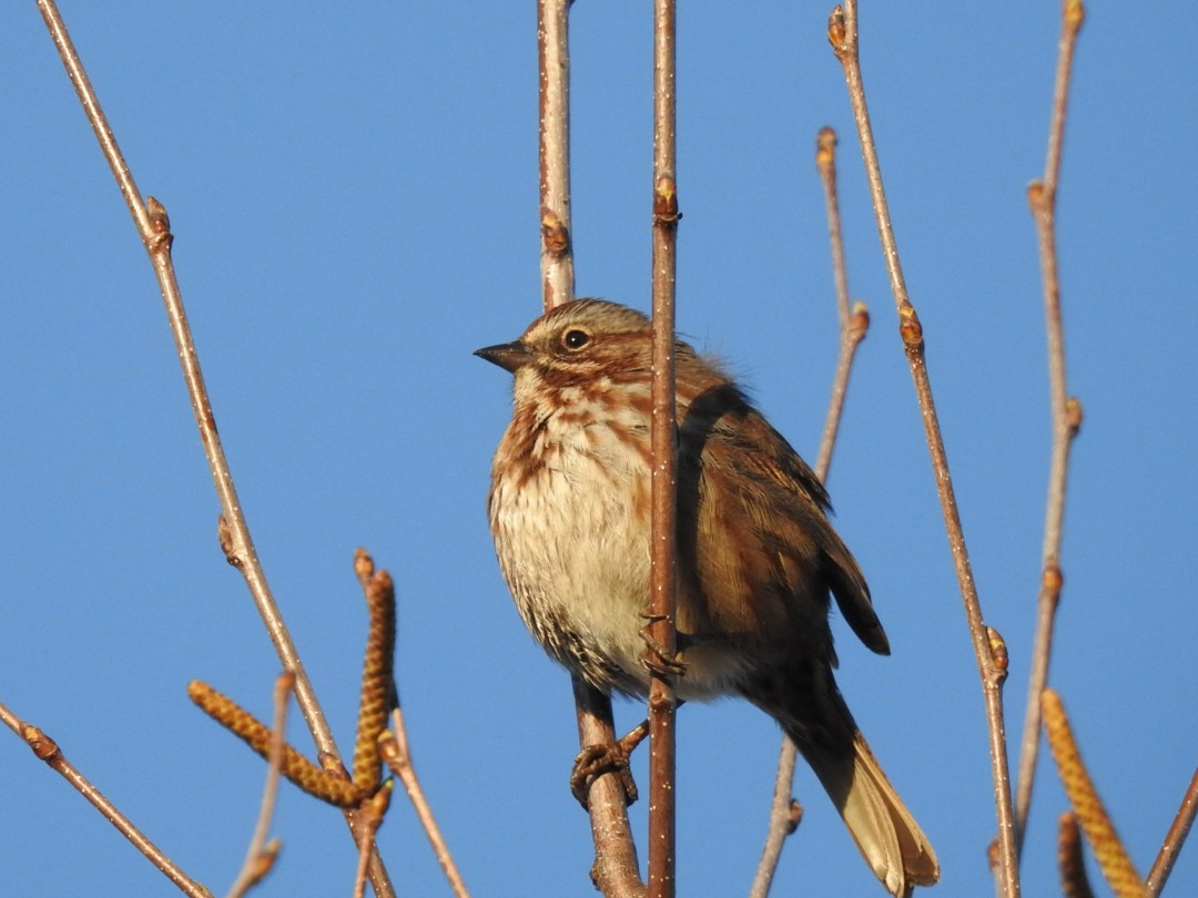 Song Sparrow at Willband Creek Park