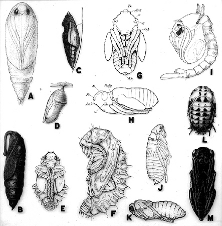 33571-insect-pupae