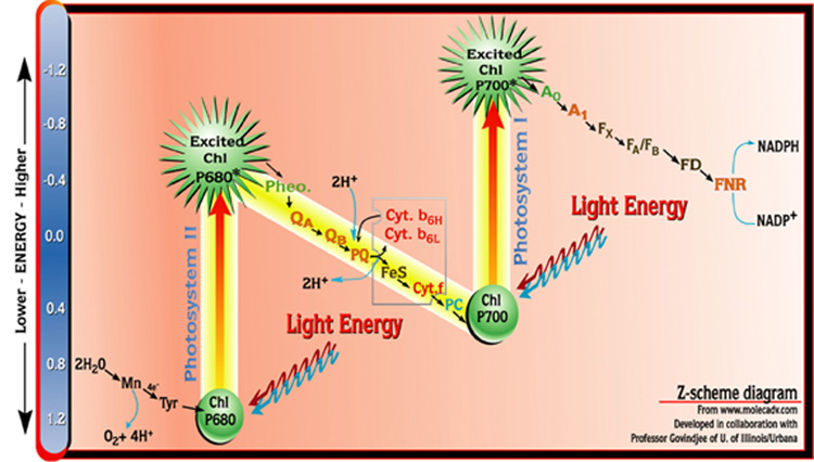 photosynthesis z scheme diagram 5 wire trailer plug wiring the of