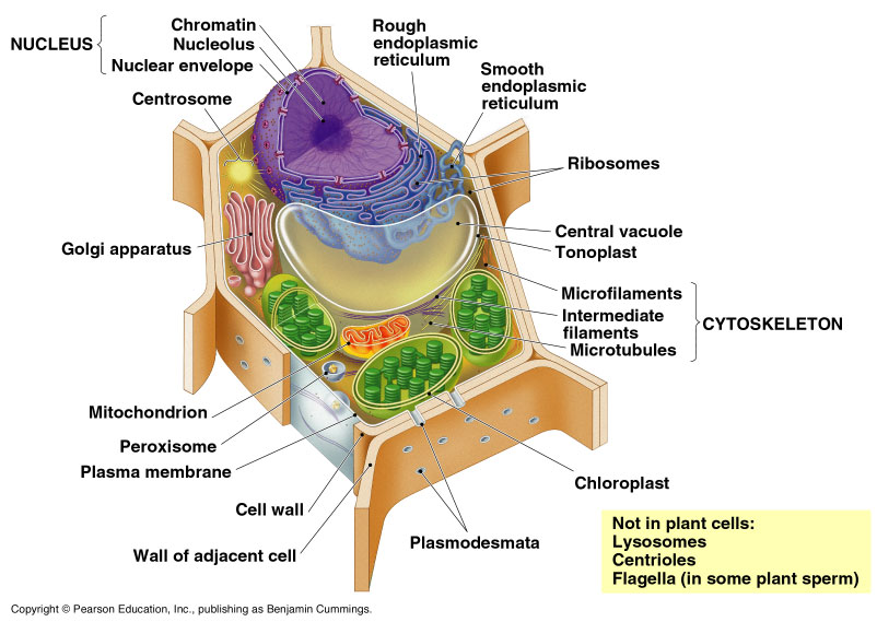 eukaryotic endomembrane system cell diagram residential wiring diagrams your home bsci124cell
