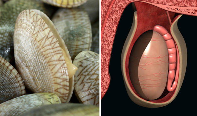 Clams-TesticlesFoods-That-Look-Like-Body-Parts