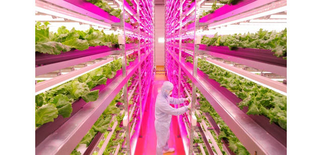 biggest indoor farm produces lettuce
