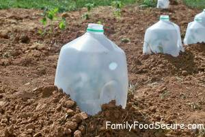 Use Your Milk Jugs to Protect Your Seedlings