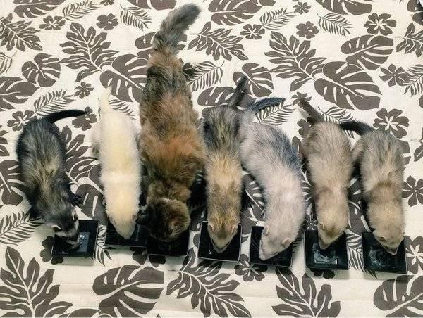 rescue-kitten-komari-ferret-brothers-63