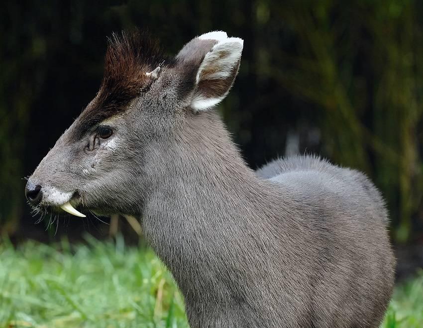 Tufted Deer - strange animals