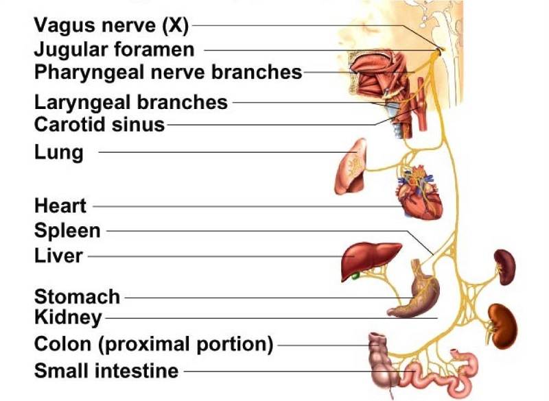 How To Naturally Stimulate Vagus Nerve To Stop Migraines