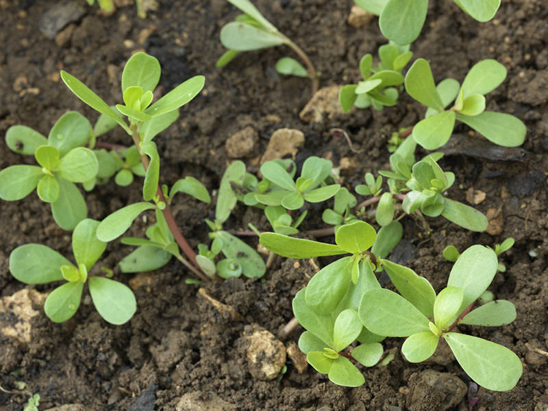 Purslane - health-boosting plants