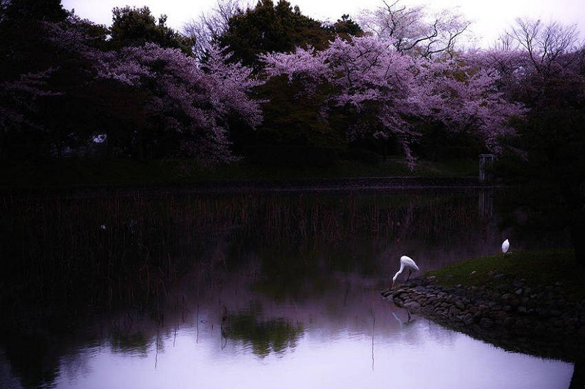 Sakura Reverie - spring-japan-cherry-blossoms-national-geographics