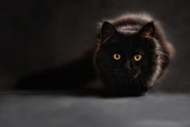 cat predator hunting
