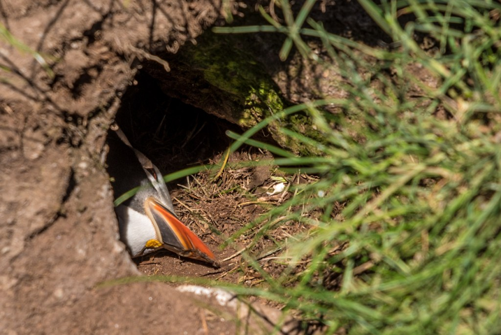 A puffin in its house, another resident of Mykines