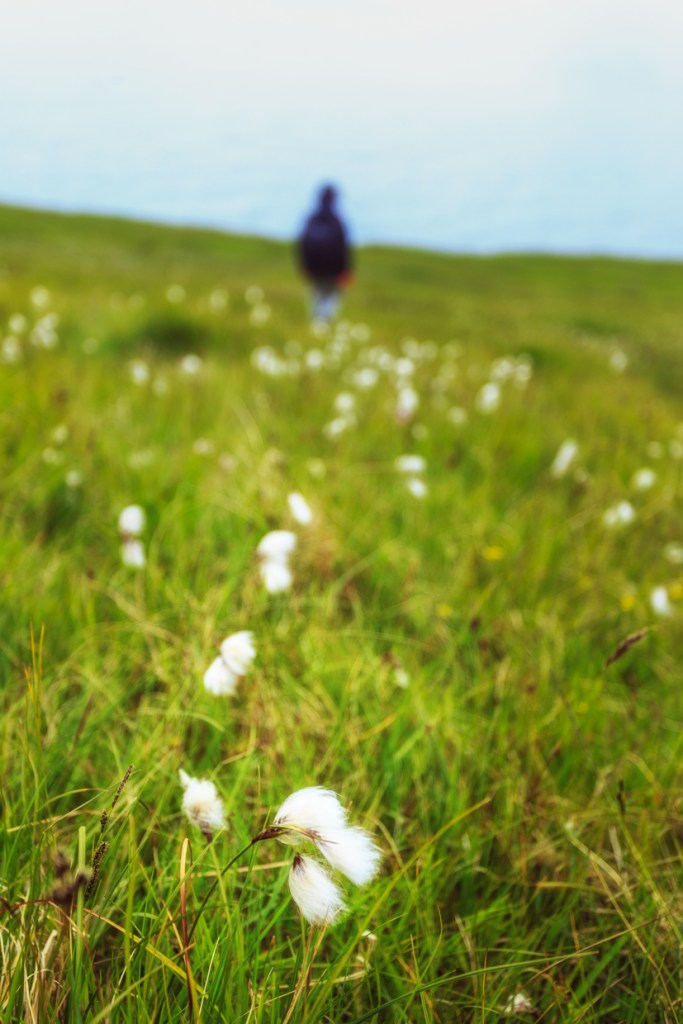Cottongrass meadow