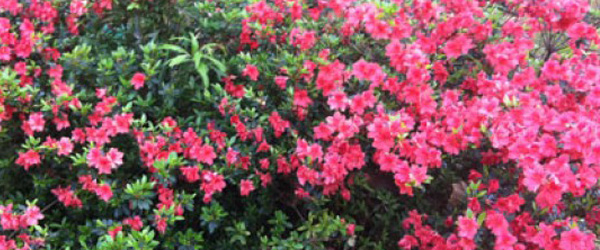 Azaleas on My Patio
