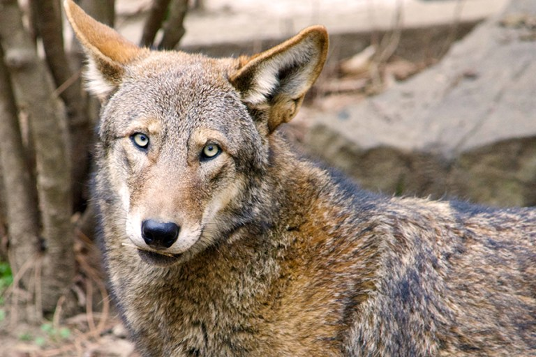 Closeup of a male red wolf named Eno..