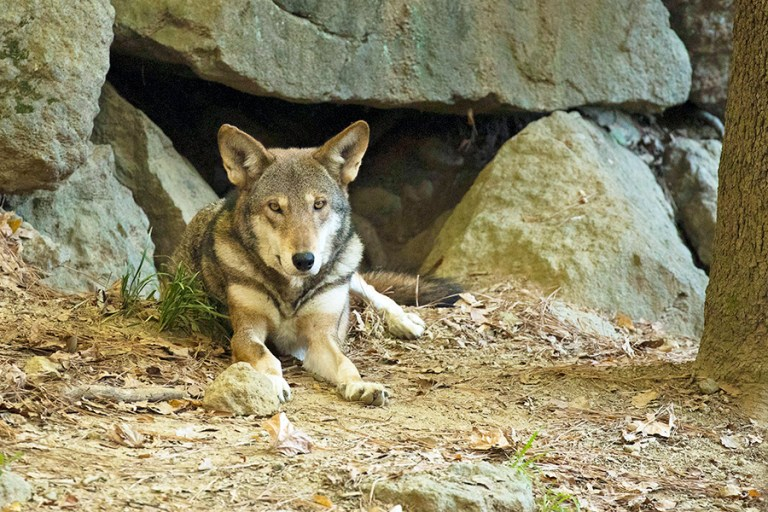 A red wolf lays in front of a den.