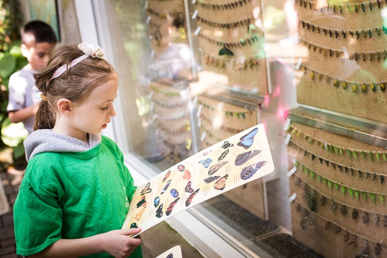 A girl in a green shirt looks at a butterfly id guide in front of a window with hanging chrysallises.