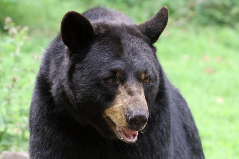 Closeup of Gus, an American black bear.