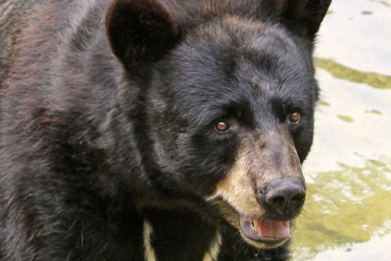 Closeup of Mimi, an American black bear.