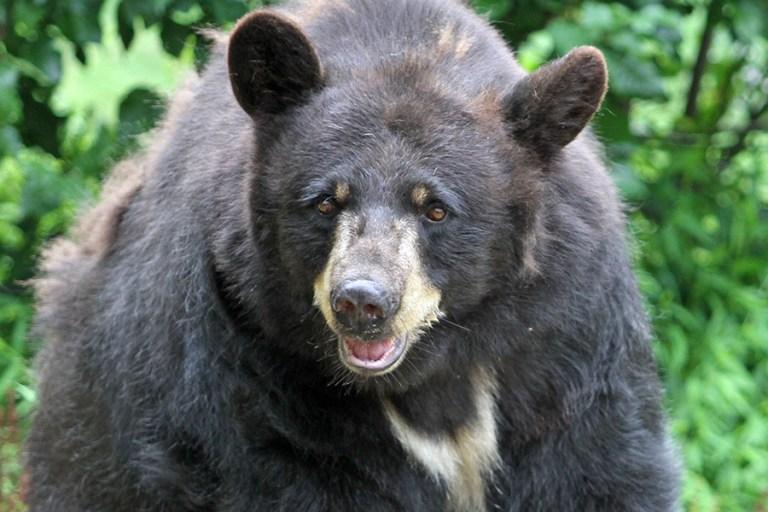 Closeup of Virginia, an American black bear.