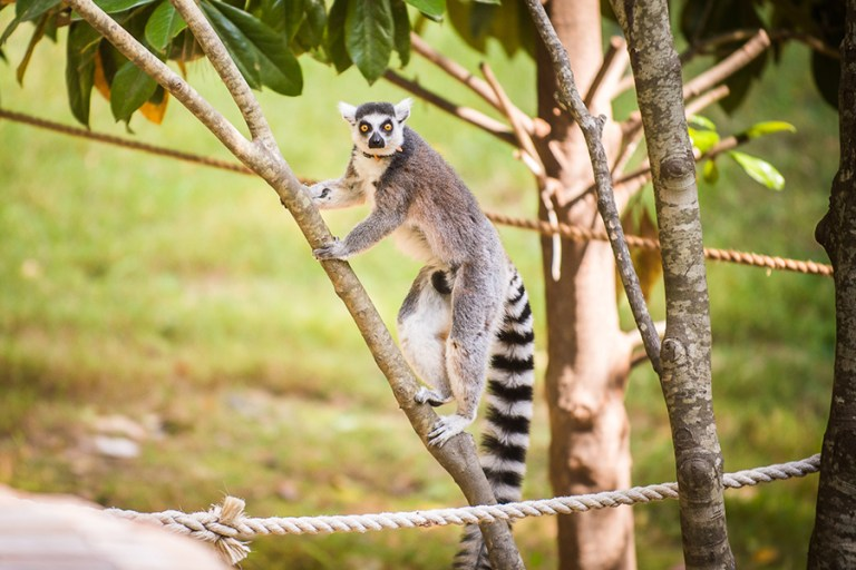 A ring-tailed lemur stands in a tree and stares at the camera.