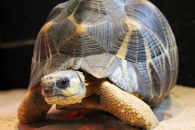 Close-up of a radiated tortoise