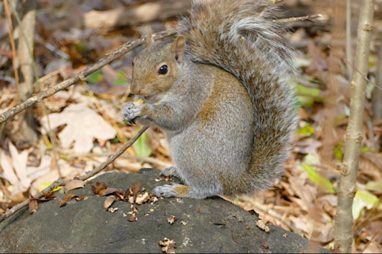 Eastern gray squirrel sits on boulder chomping on nuts.