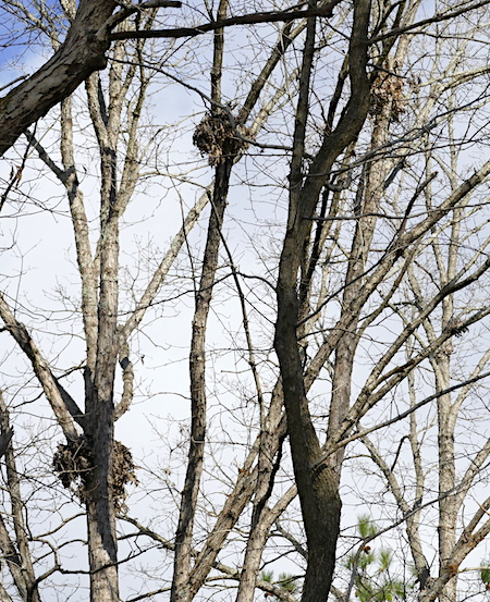 Three squirrel nests in treetops